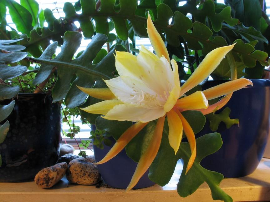 perawatan bunga wijaya kusuma