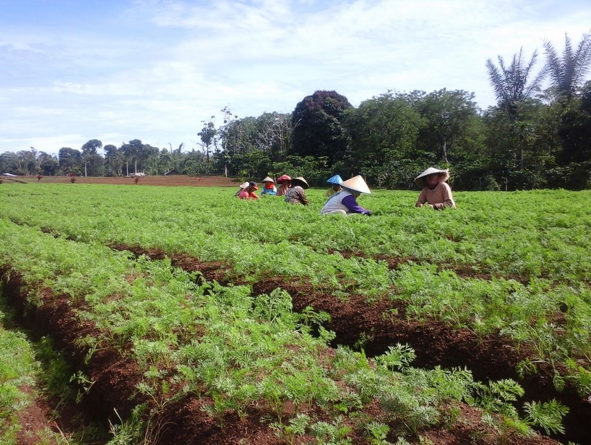 perawatan tanaman wortel
