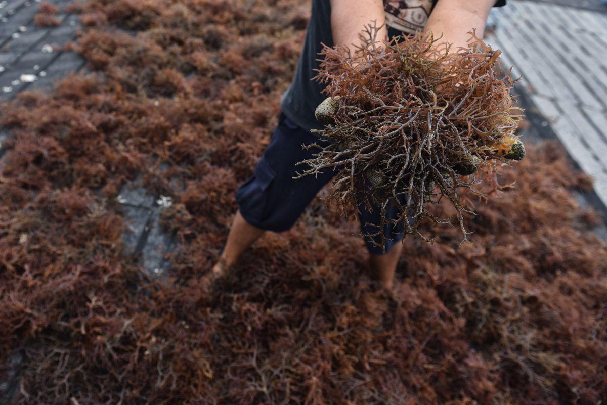 Bertani Rumput Laut