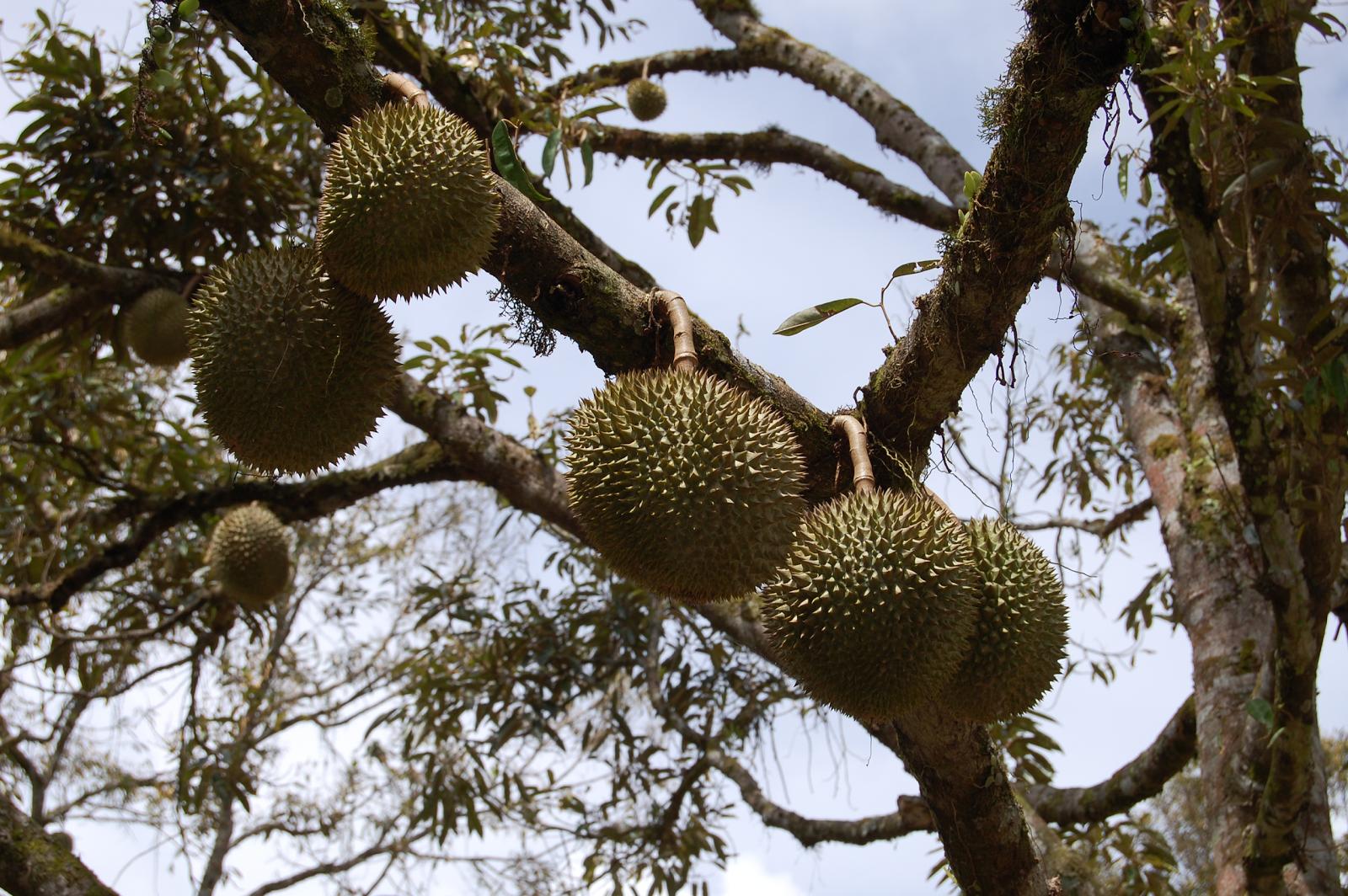 Buah Durian Okulasi