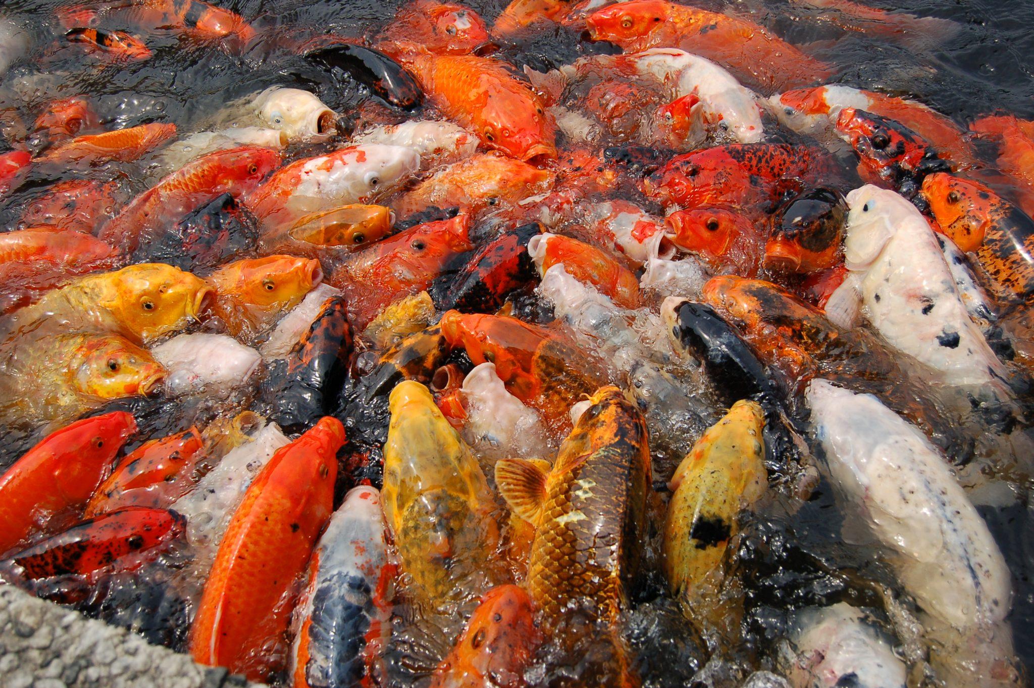Budidaya Ikan Koi
