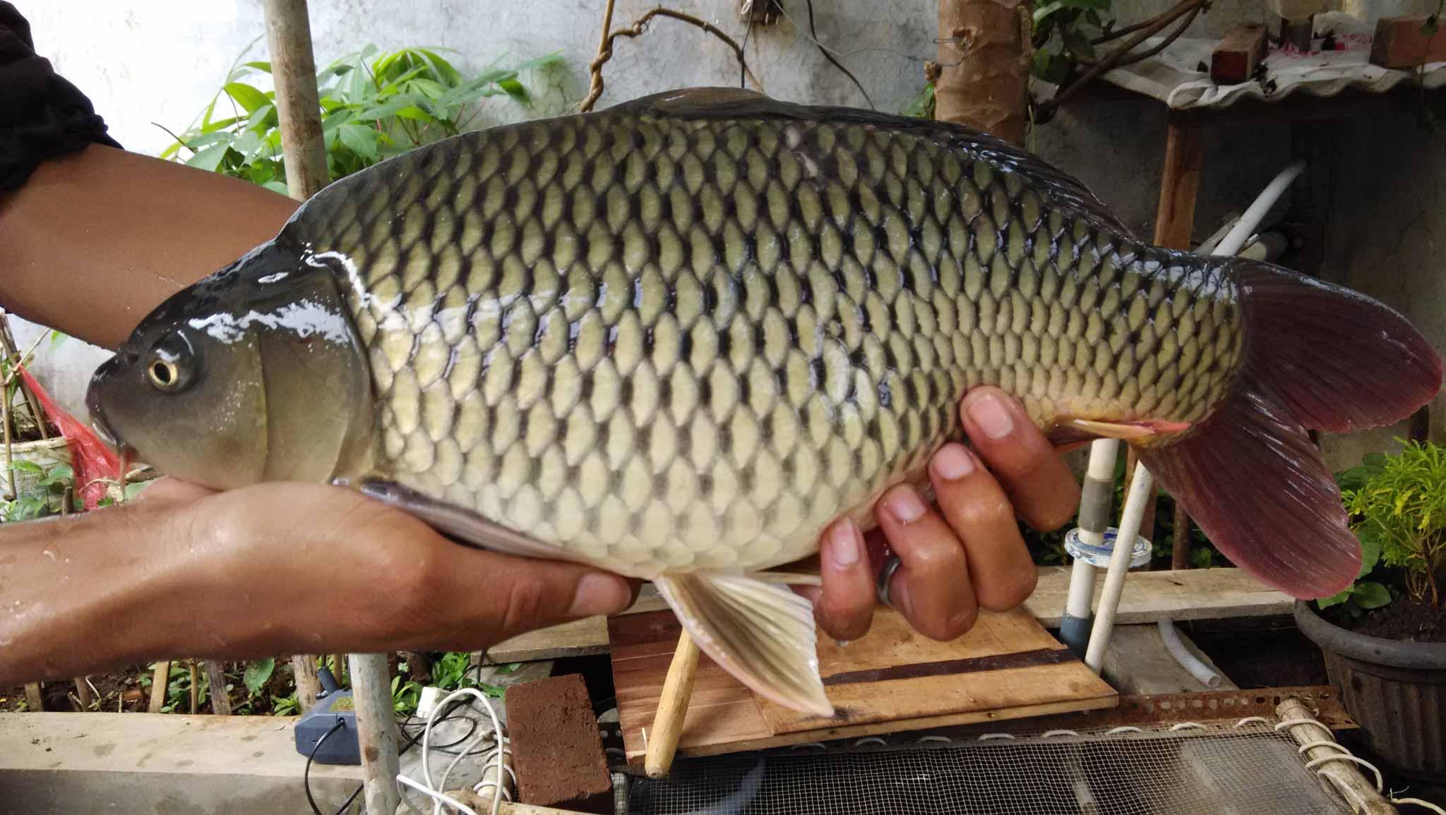 Indukan Ikan Mas
