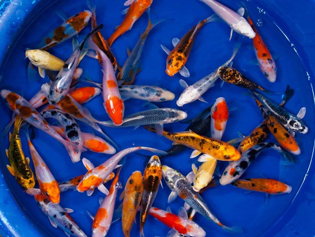 Panen Ikan Koi