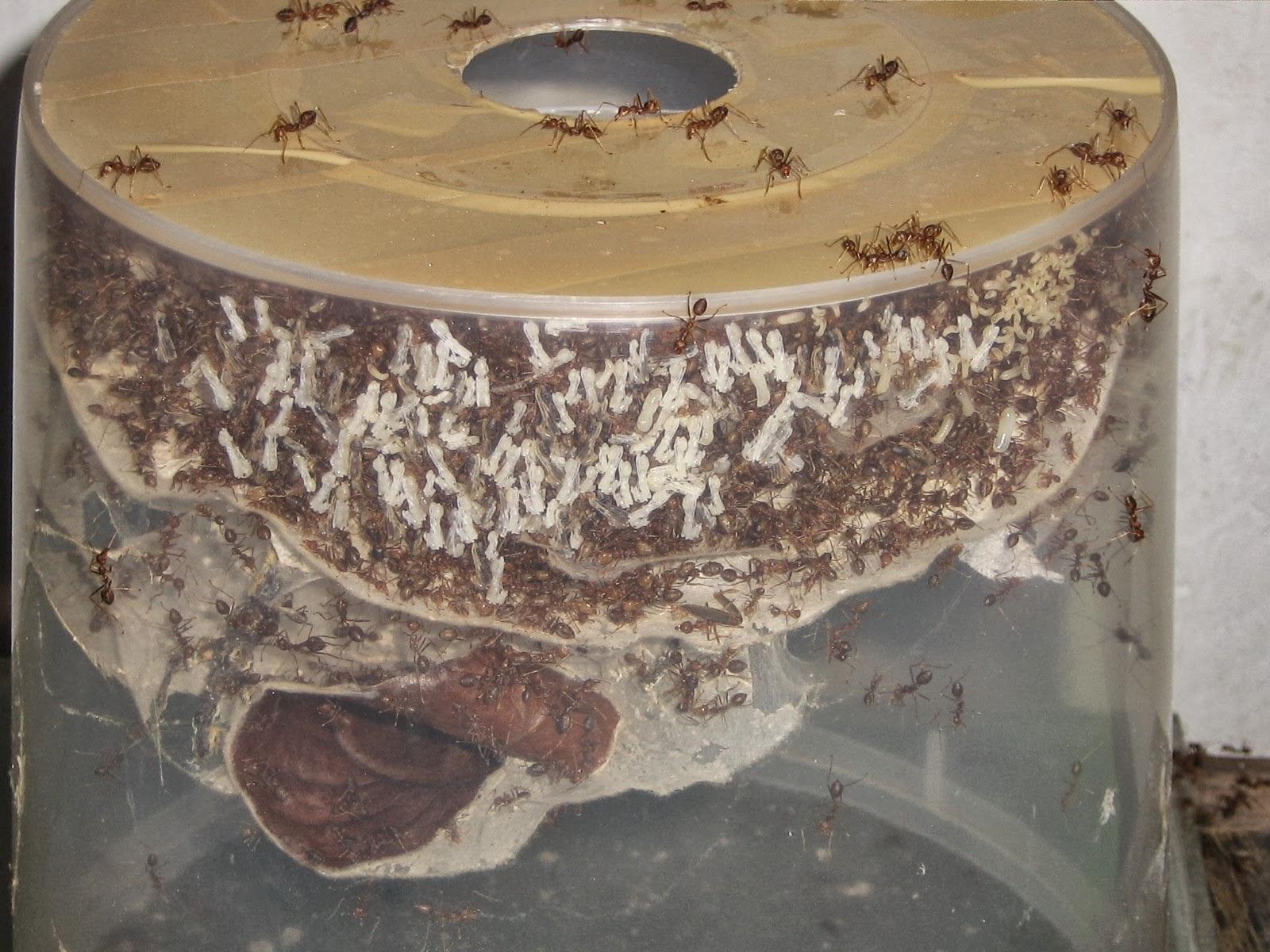 Pembesaran Semut Rangrang