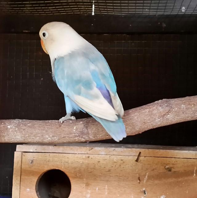 Postur tubuh lovebird