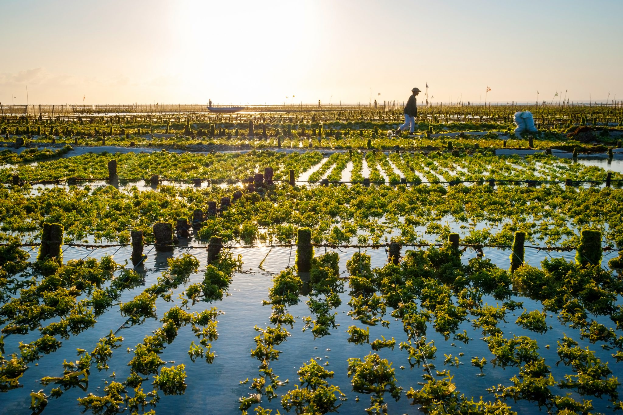 Tambak Rumput Laut