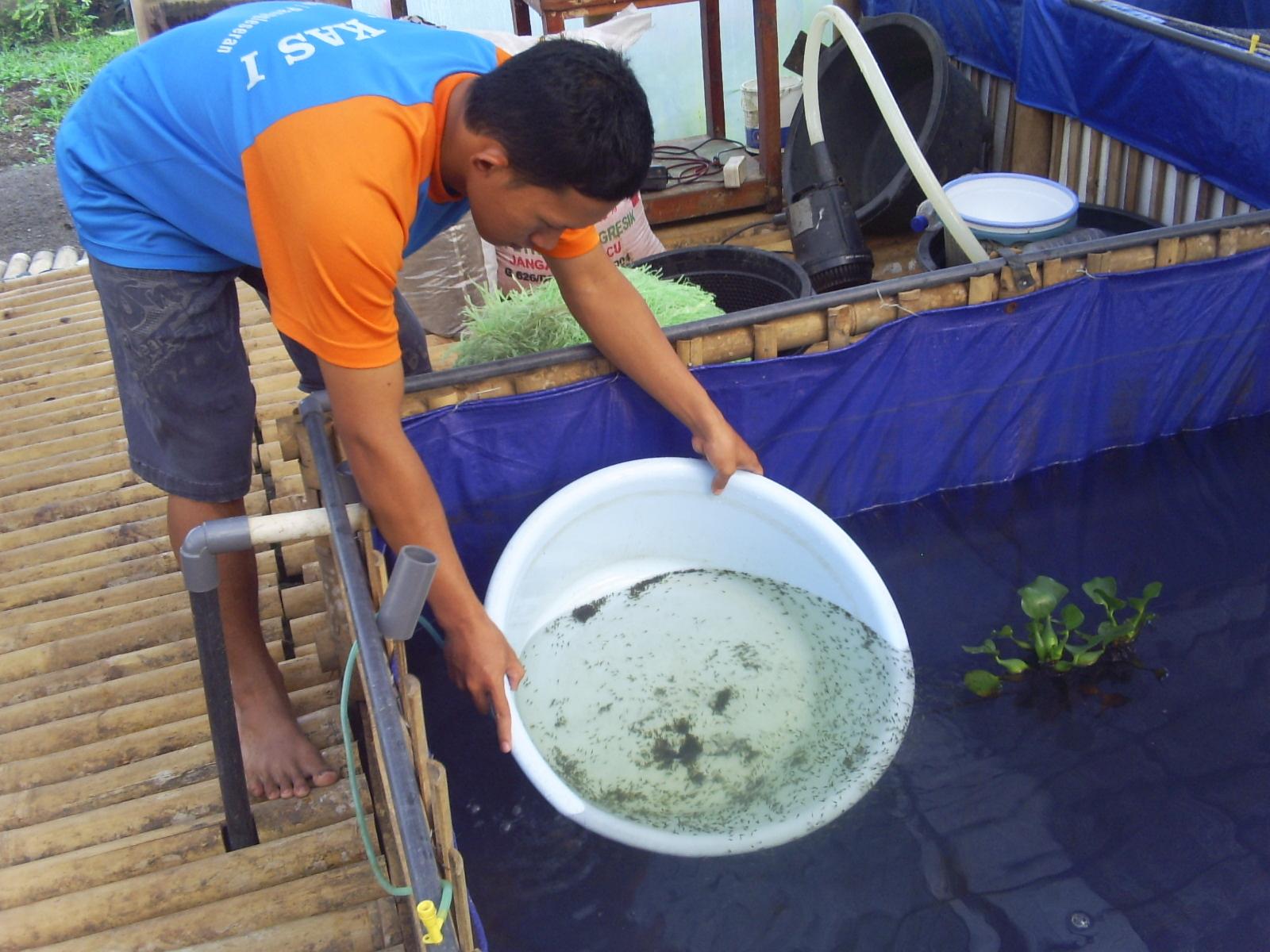 Menebar Bibit Ikan Lele