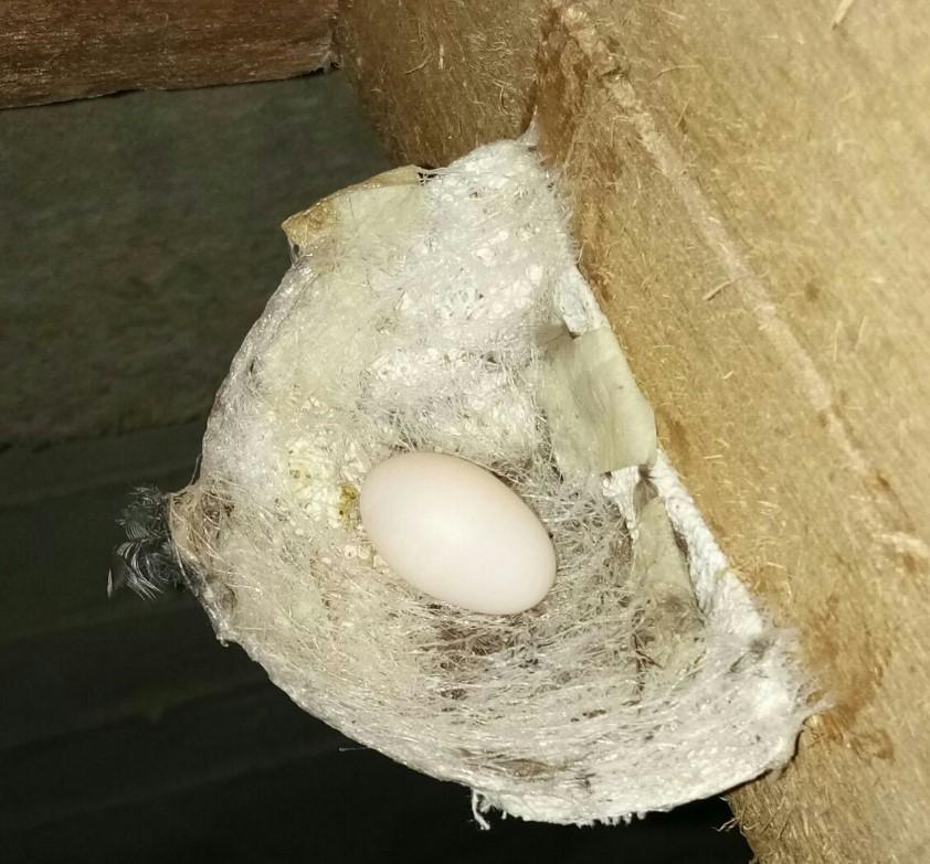 Telur Walet