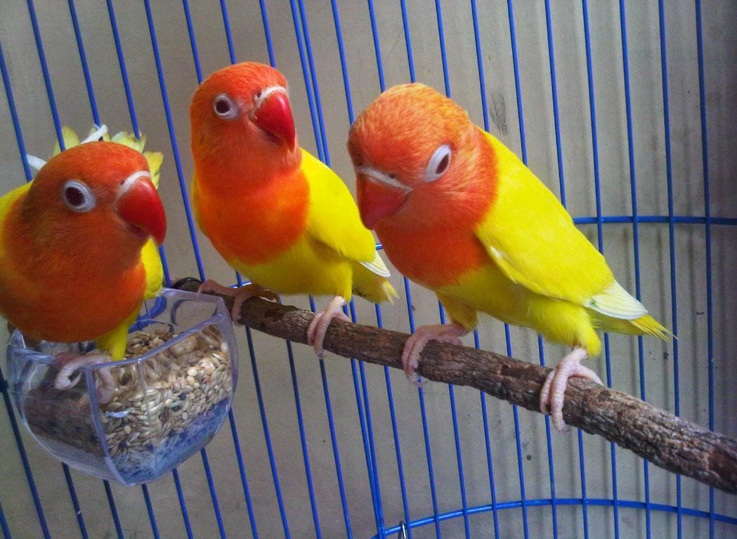 pemilihan lovebird