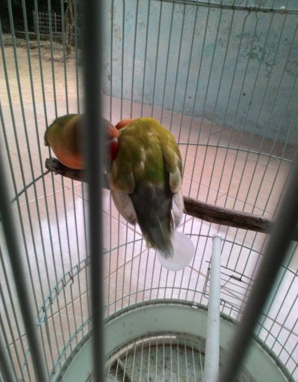 perkawinan lovebird