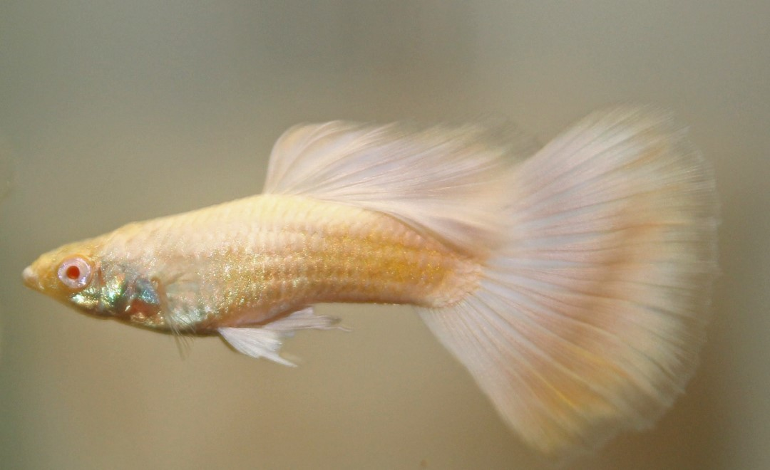 Guppy German Platinum Crowntail