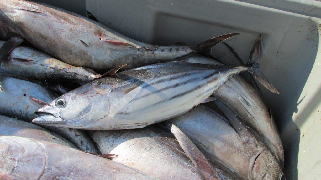 8 Jenis Ikan Laut Yang Banyak Dikonsumsi Abahtani