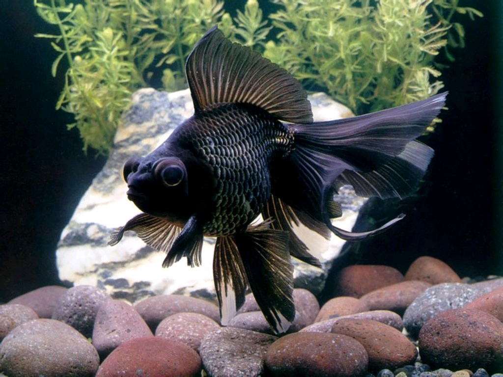 Ikan Mas Koki Black More