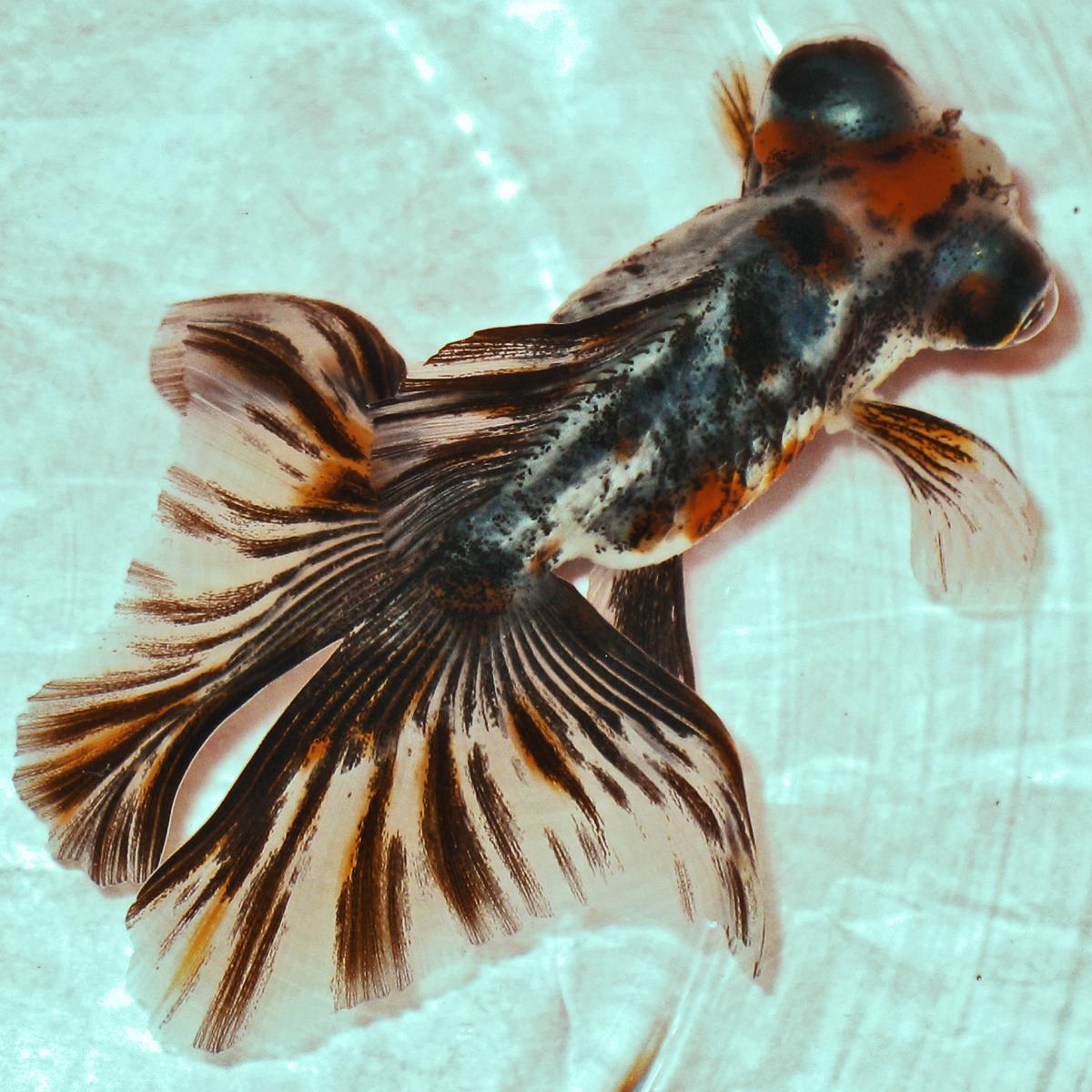 Ikan Yang Banyak Ditemukan Di Indonesia Bagian Barat Adalah