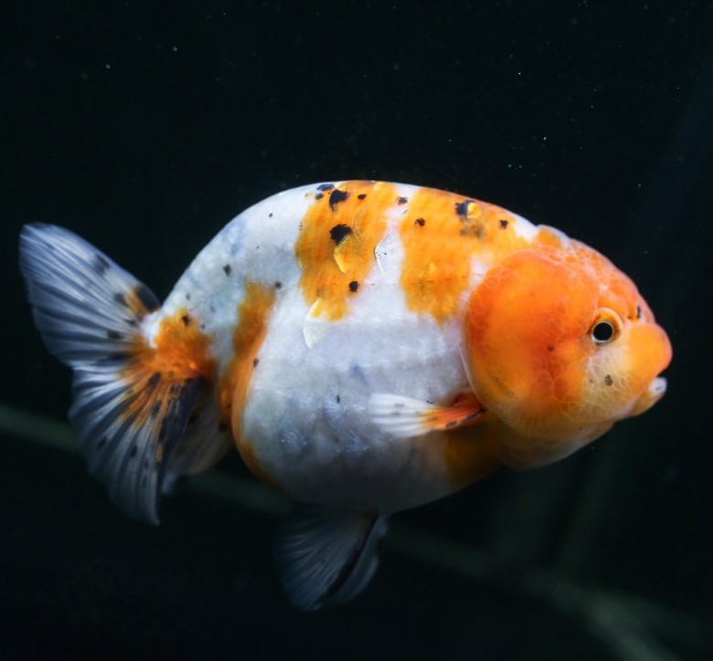 Ikan Mas Koki Calico
