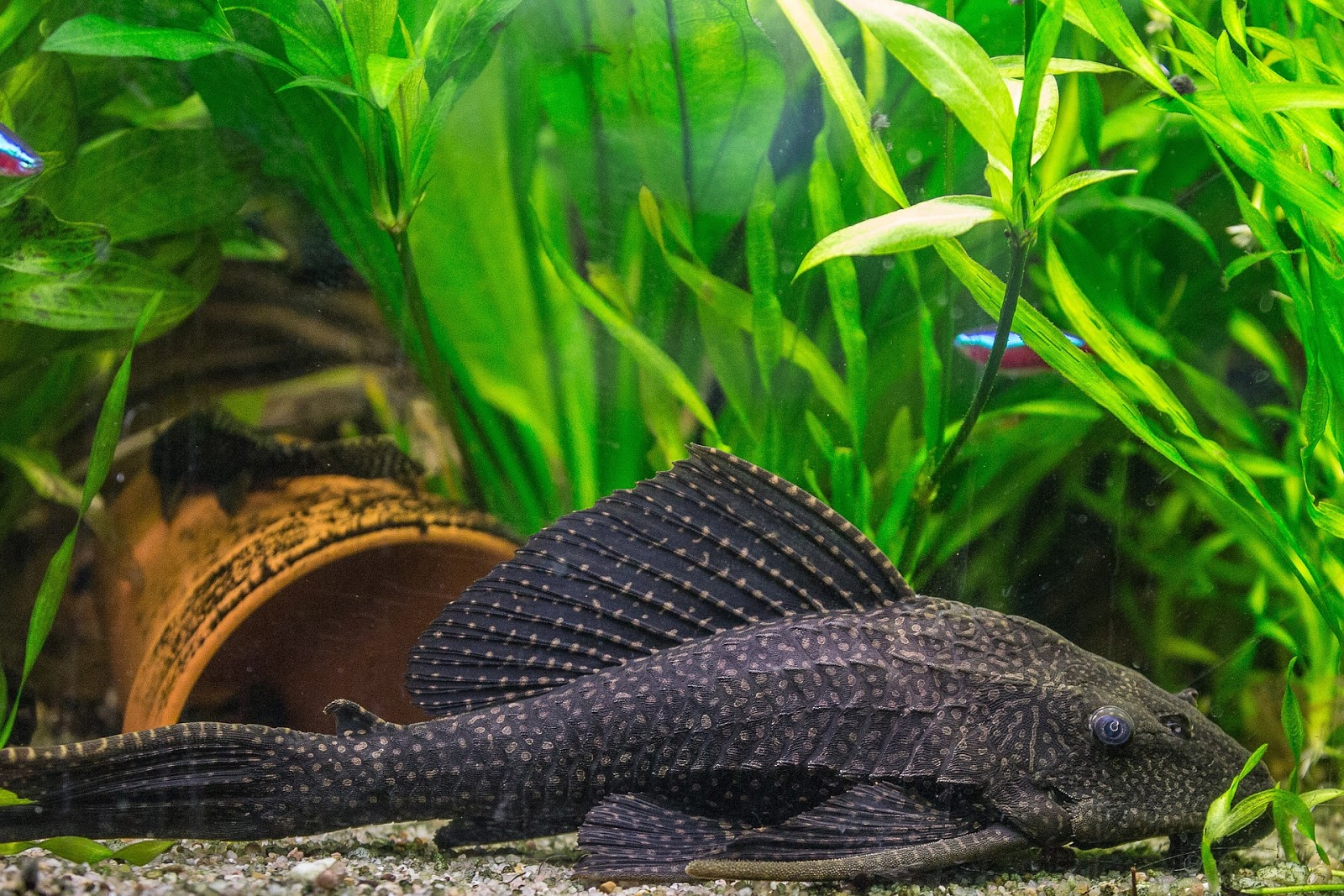 Ikan Sapu-Sapu