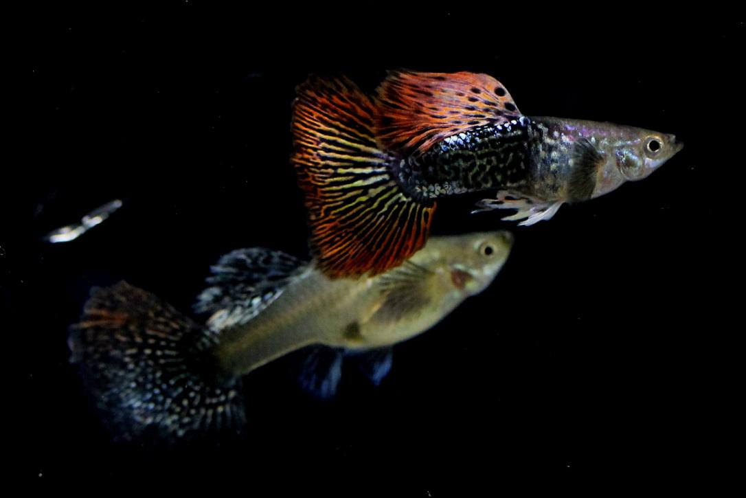 Jenis-Jenis Ikan Guppy