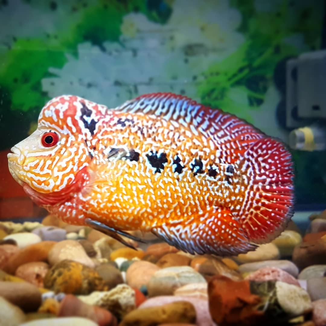 Jenis - Jenis Ikan Louhan