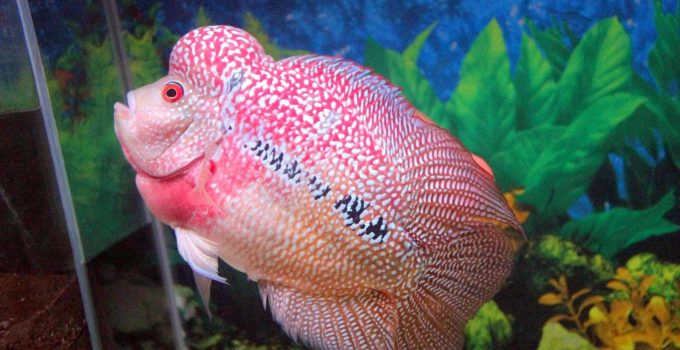 Ikan Hias Louhan