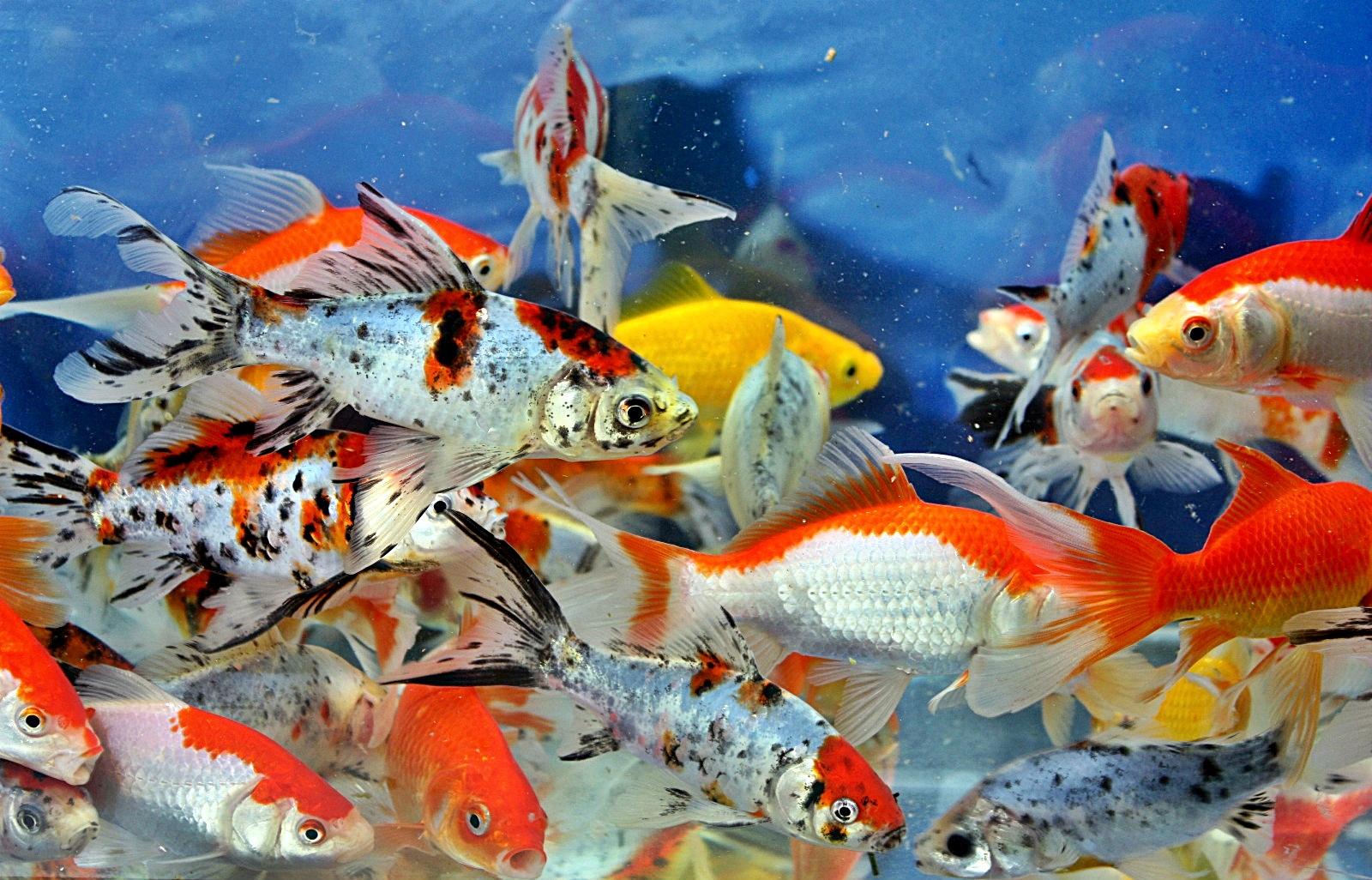 Pembibitan Ikan Hias