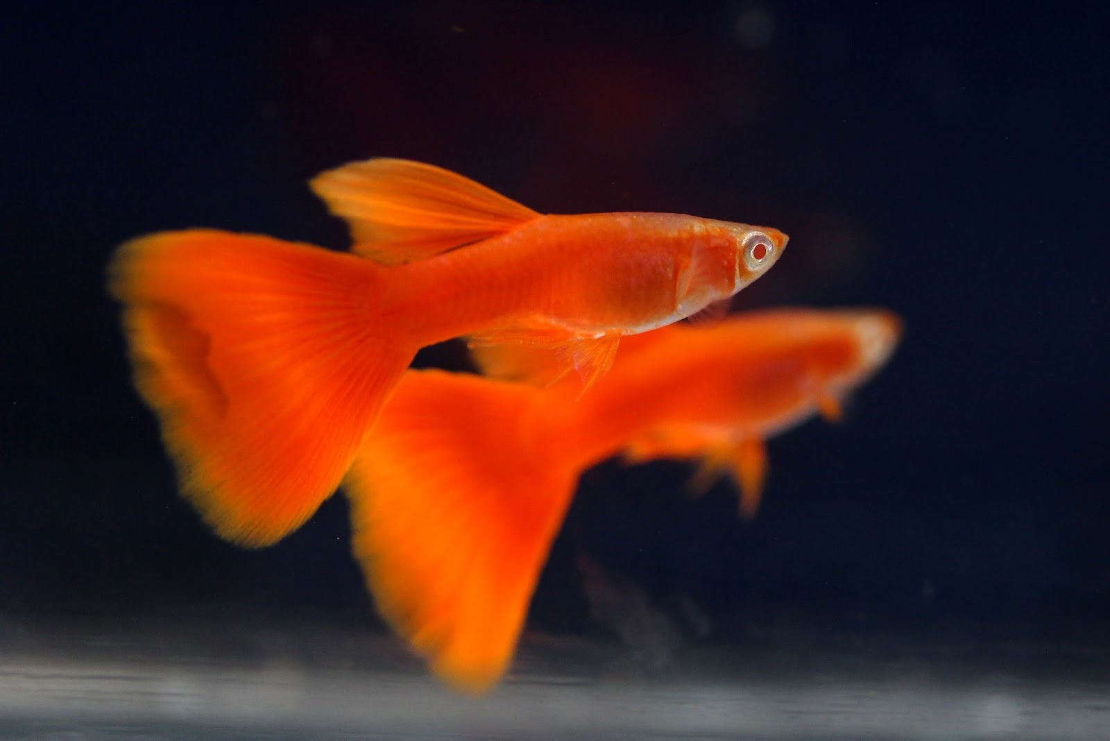Super Red Guppy