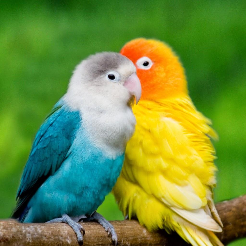 Mengetahui Musim Kawin Lovebird