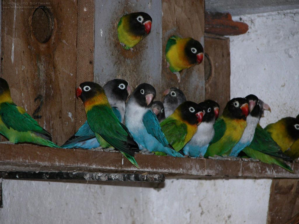 Menjodohkan Lovebird secara Koloni