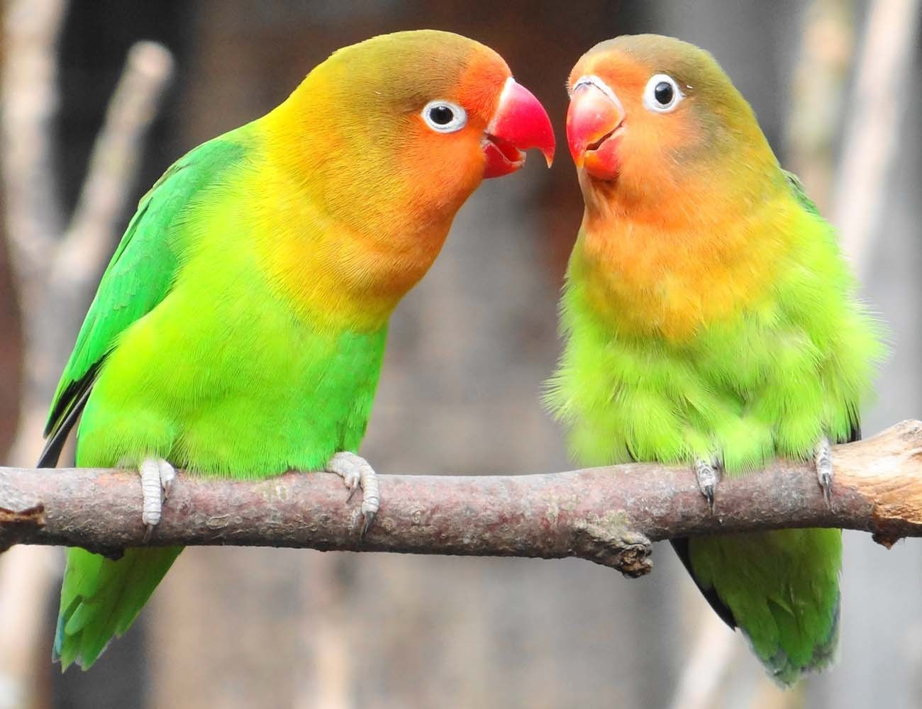 Menjodohkan Lovebird secara Pasangan