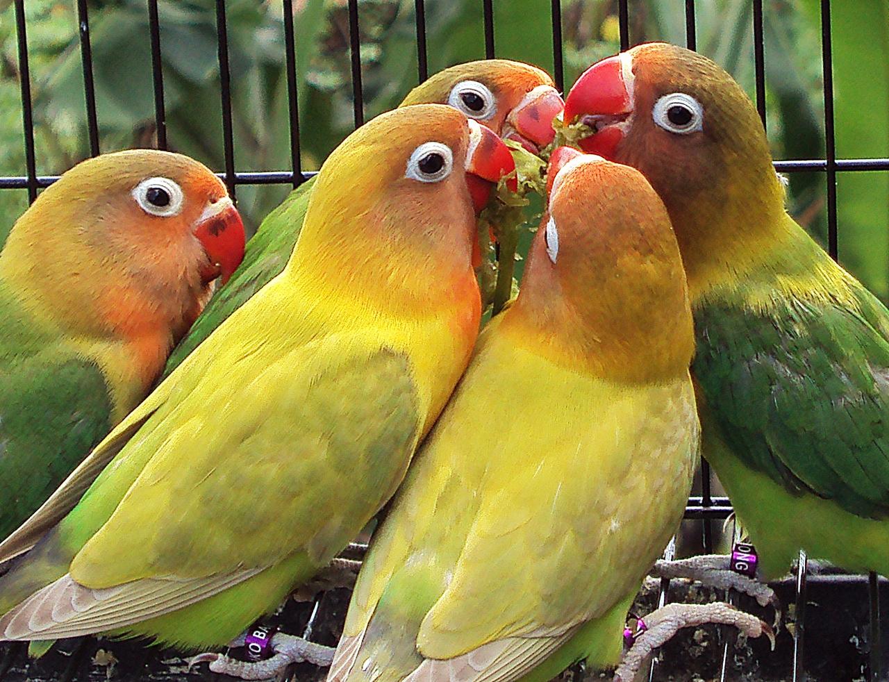 Menjodohkan Lovebird secara Poligami