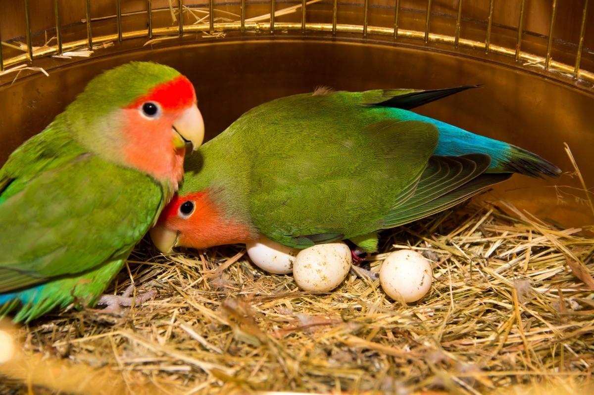 Menjodohkan Lovebird