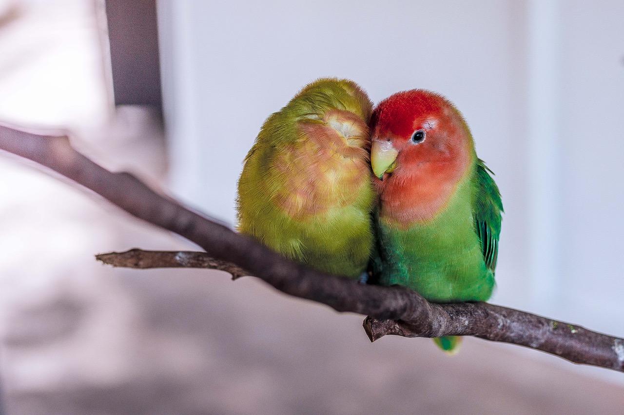 Menjodohkan Lovebird saat Masih Anakan