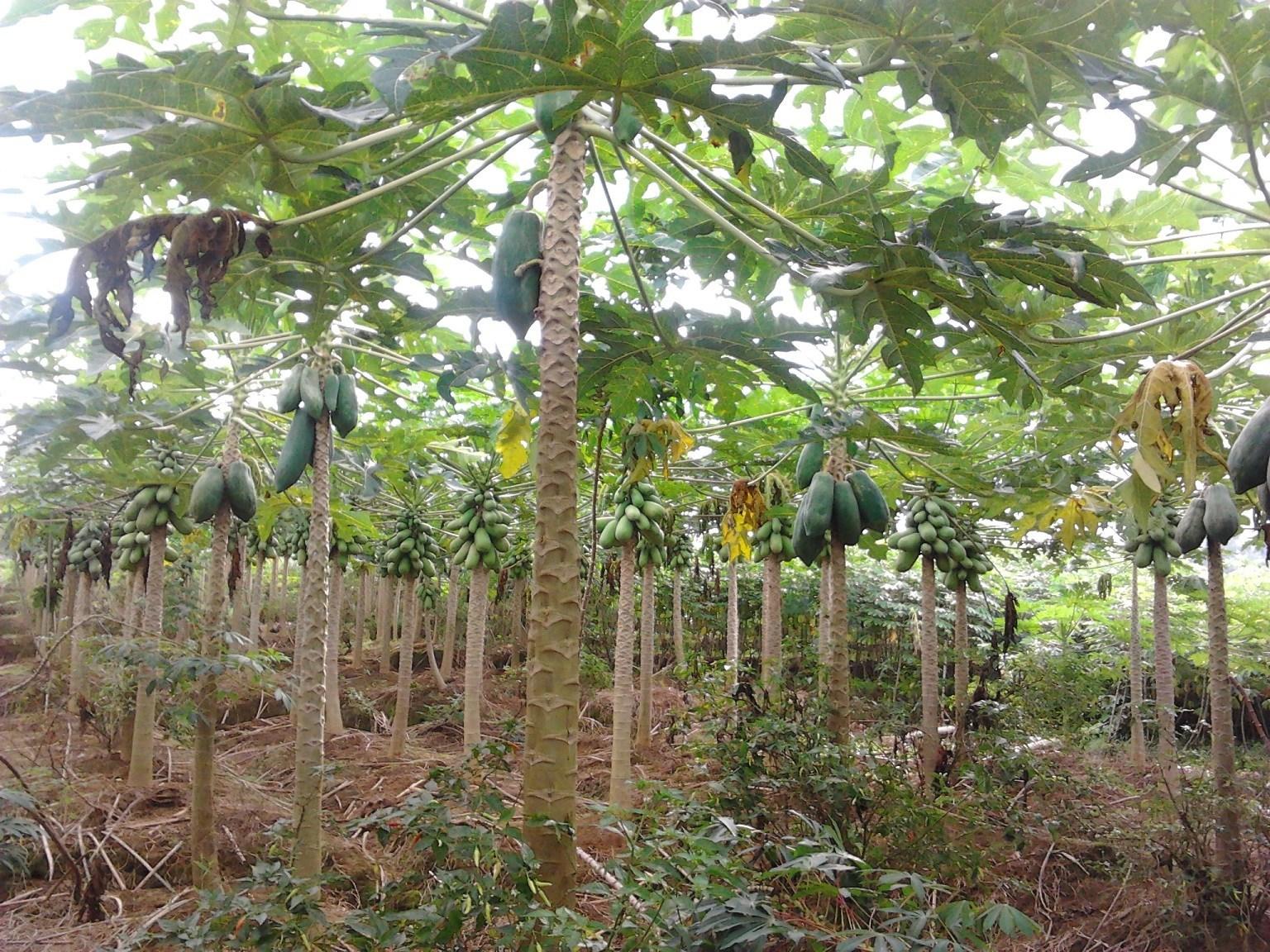 Pohon Pepaya Bagian Dalam