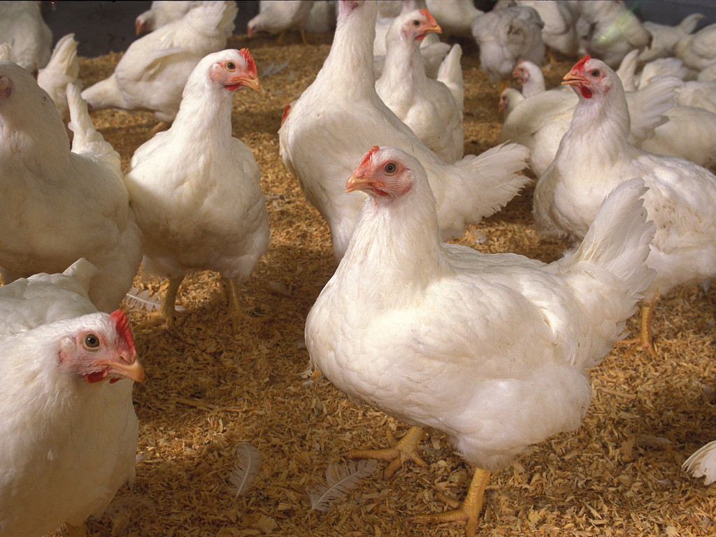 Ayam Siap Potong