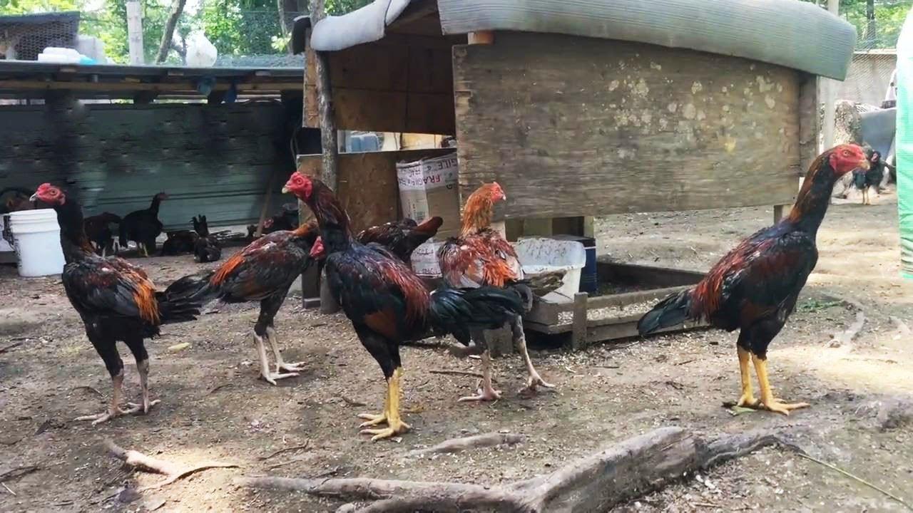 Berternak Ayam Bangkok