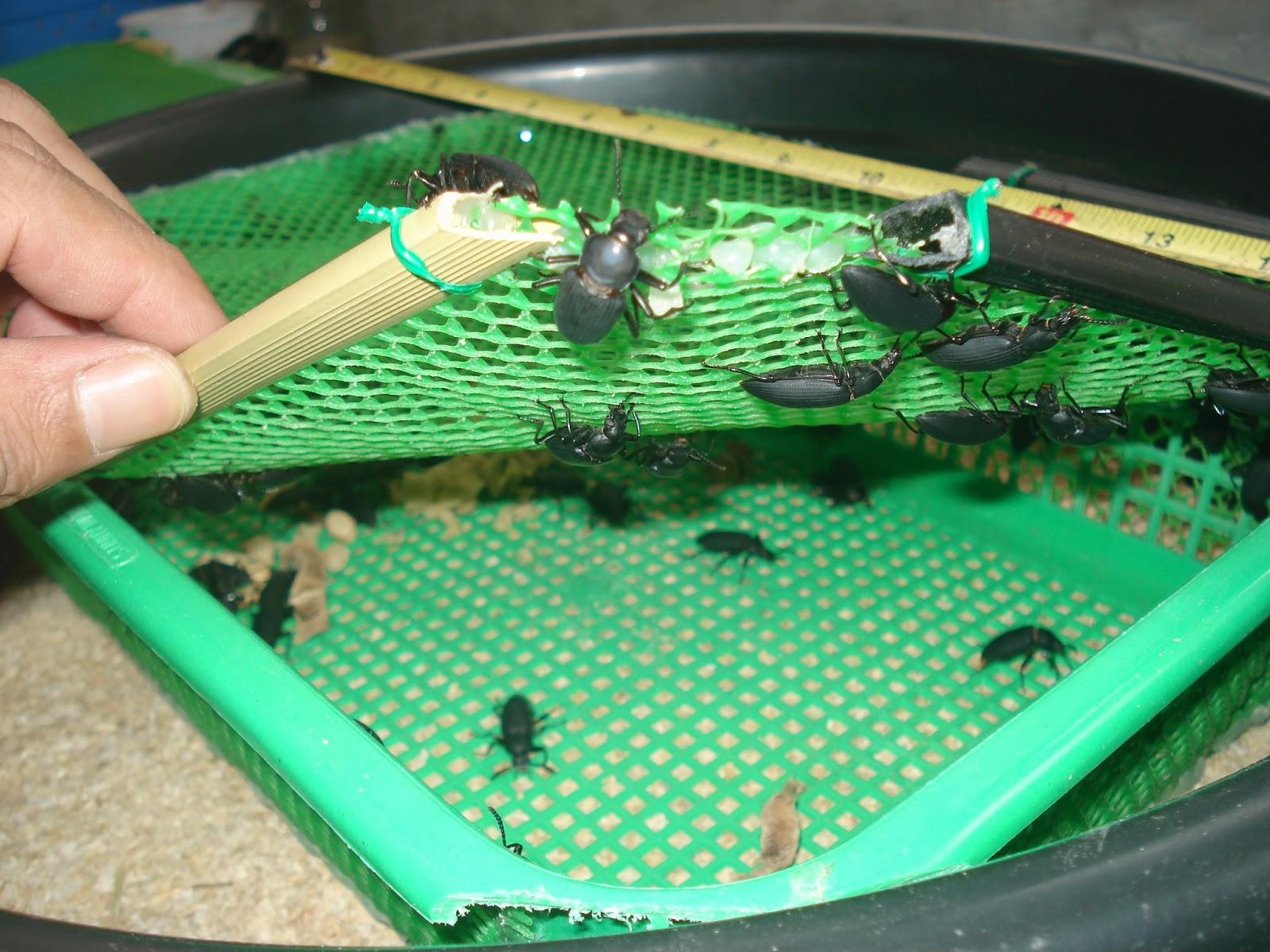 Bibit Kumbang