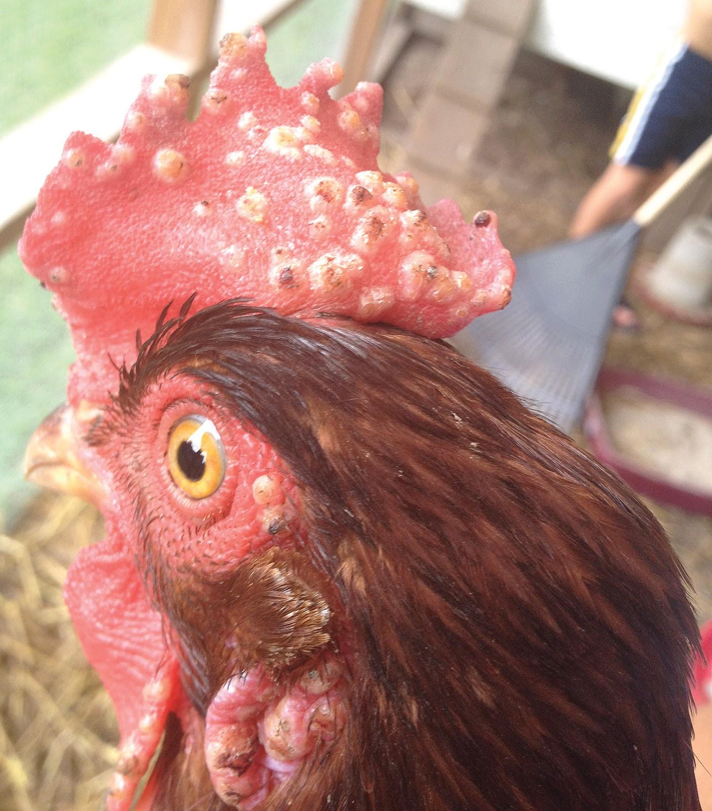 Cacar Ayam
