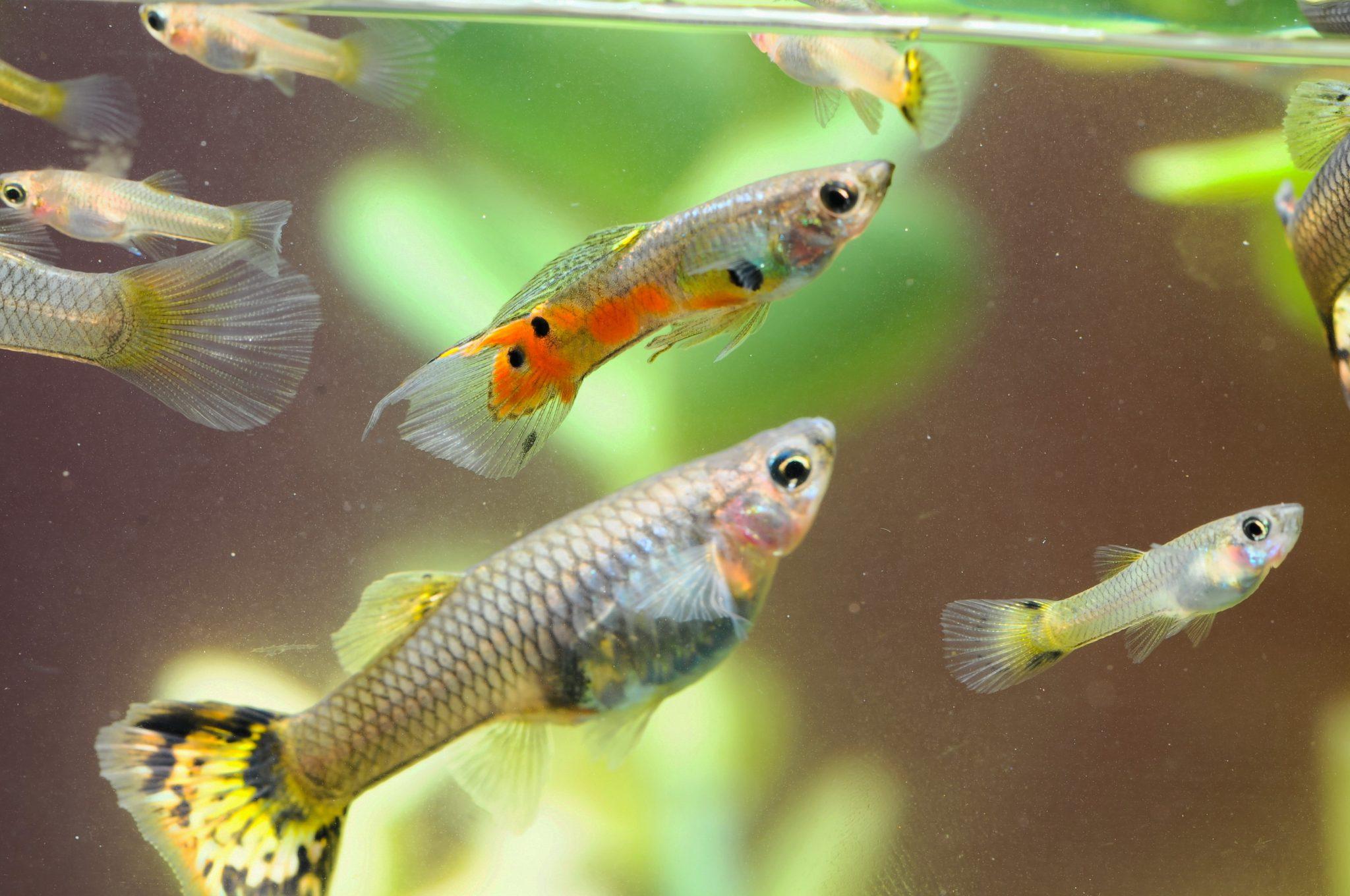 Ternak Ikan Guppy