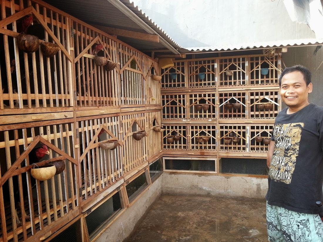 Beternak Ayam Bangkok Lengkap dari Awal sampai Panen ...