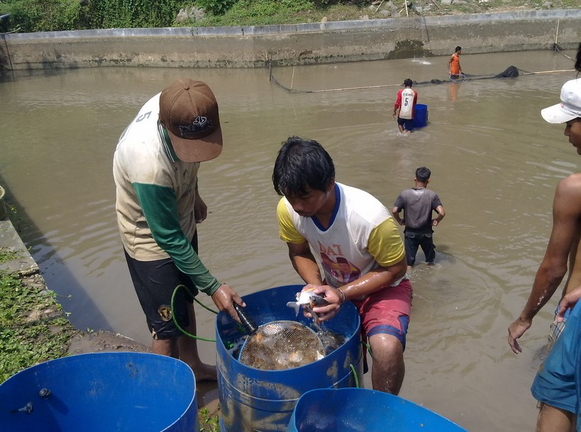 Kolam Pembesaran Ikan Bawal