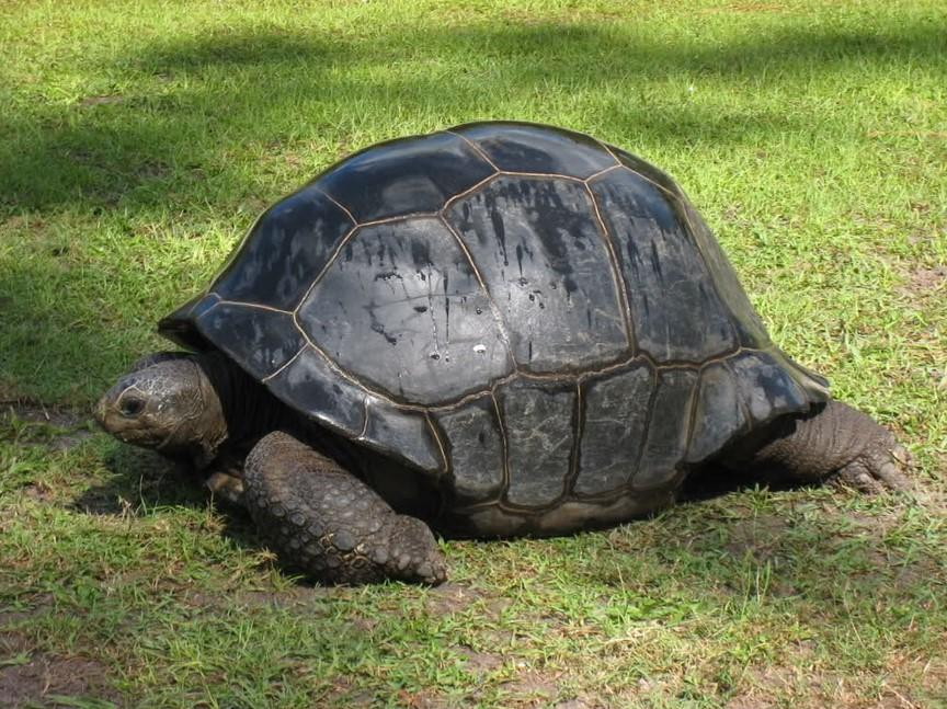 Kura-kura aldabra