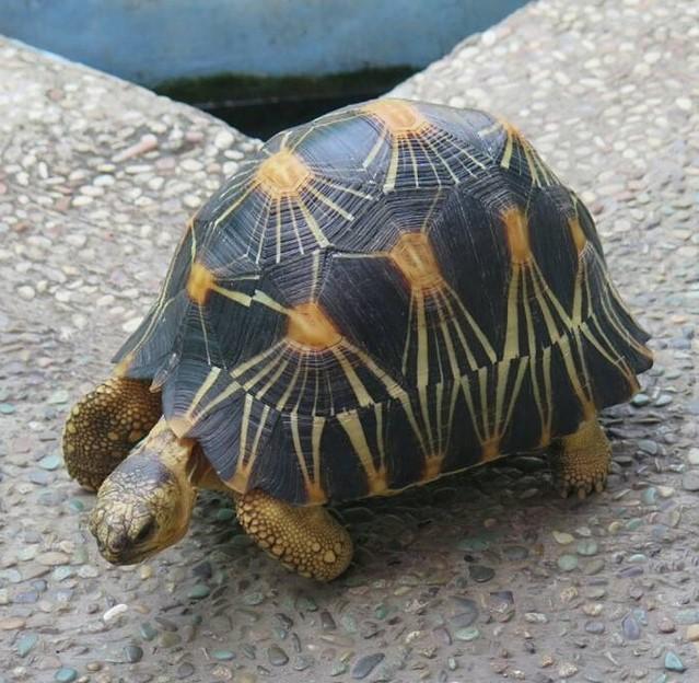 Kura-kura kepala ceri