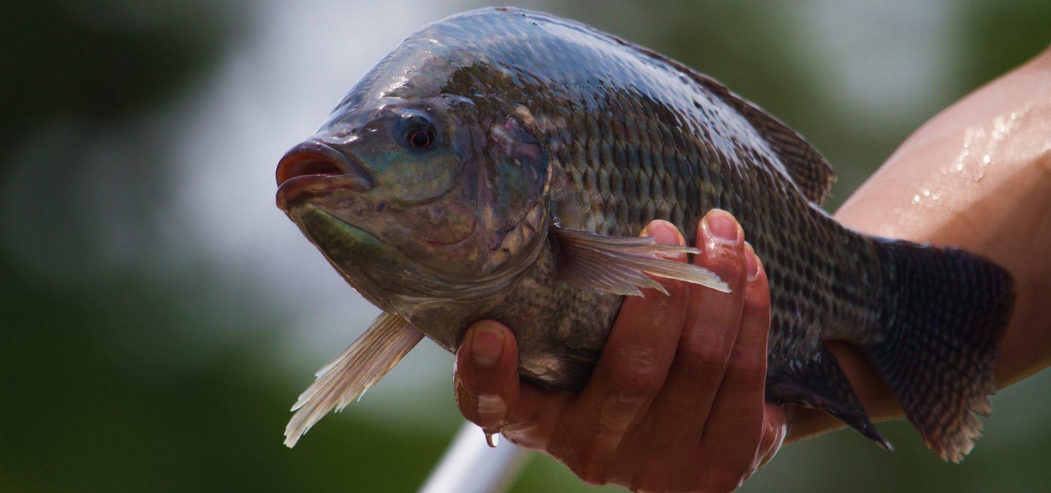 Memilih Indukan Ikan Mujair