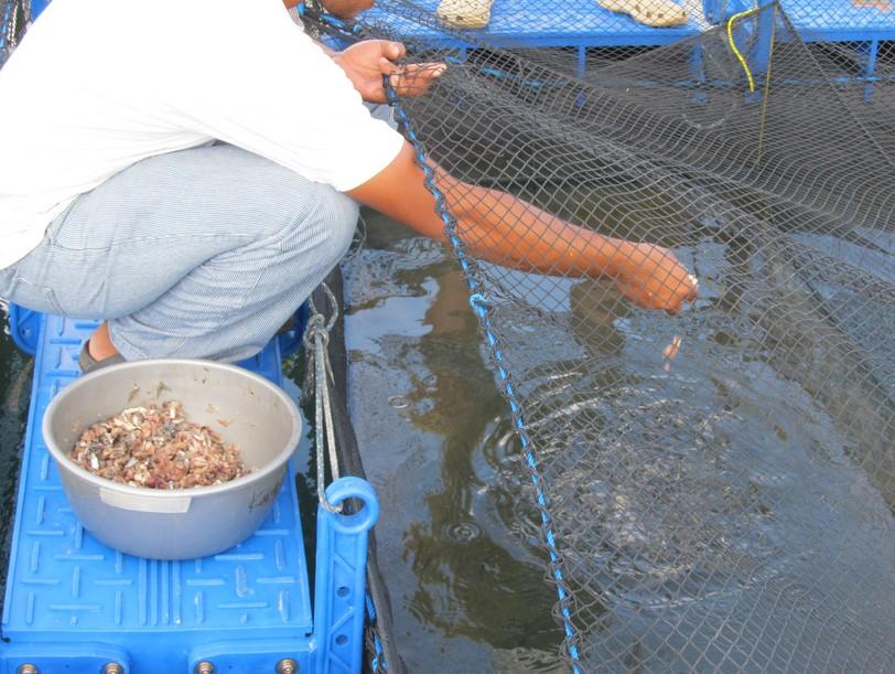 Pakan untuk Ikan Bawal