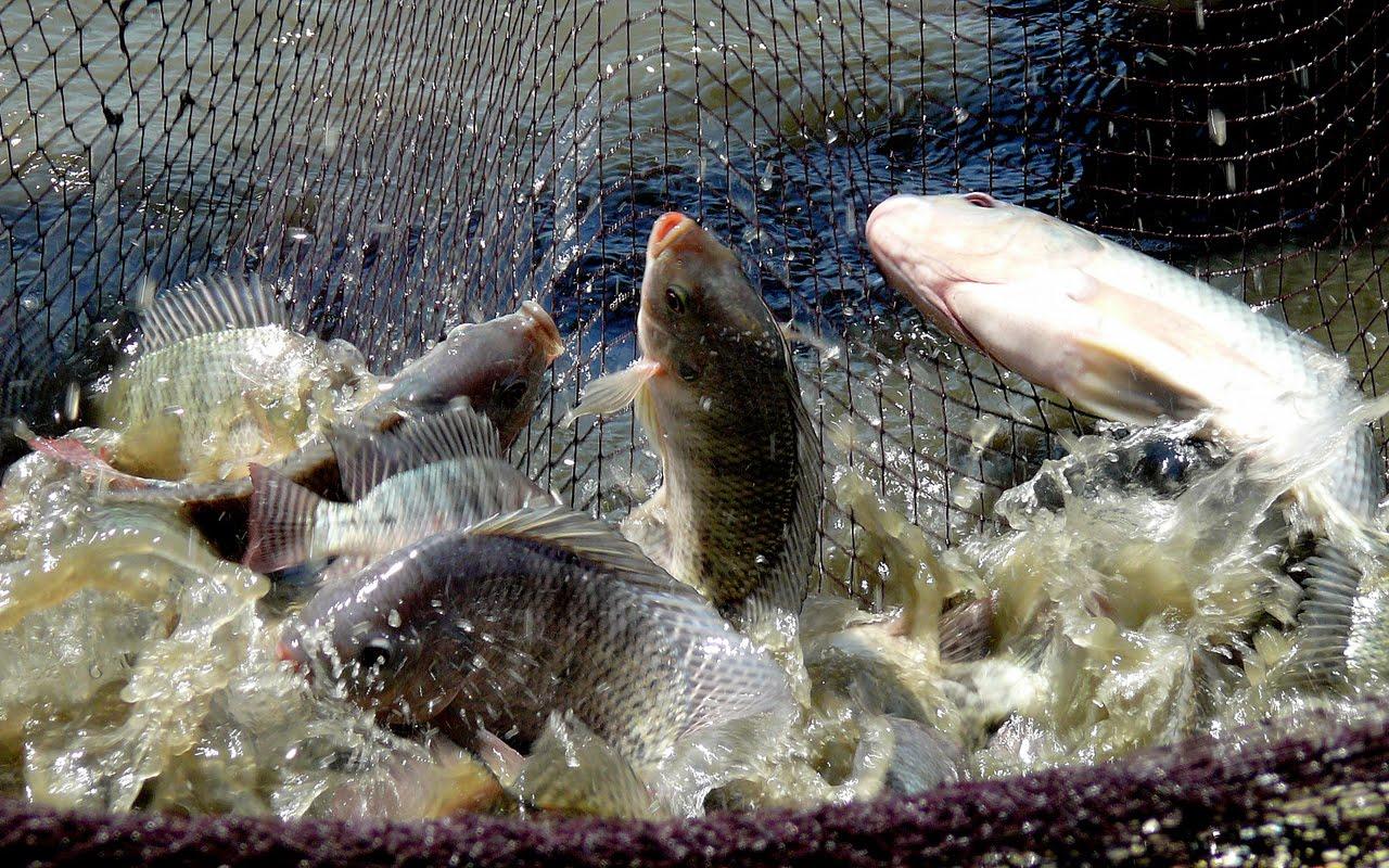 Panen Ikan Mujair
