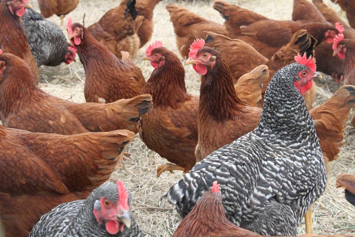 Pembesaran Ayam Petelur