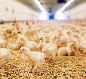 Pembibitan Ayam Potong