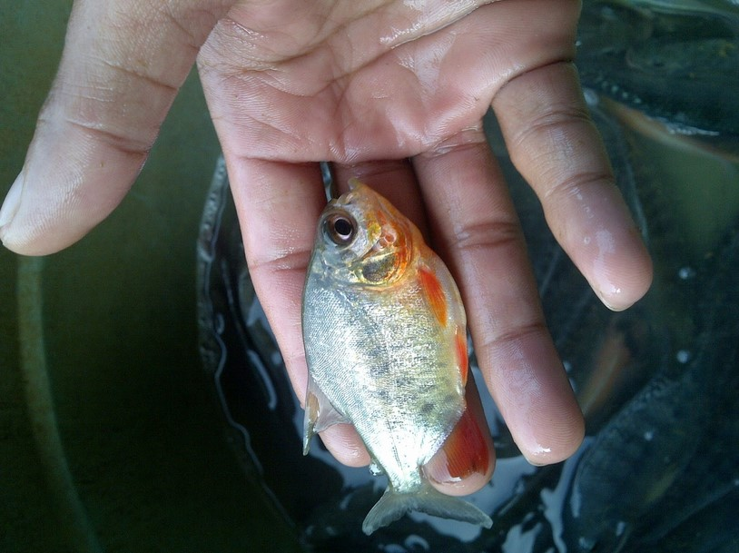 Pembibitan Ikan Bawal