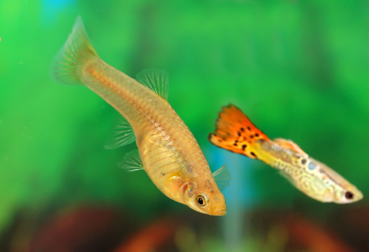 Perawatan Ikan Guppy