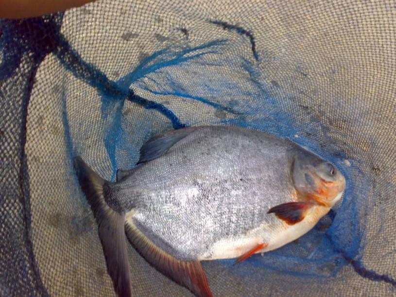Seleksi Indukan Ikan Bawal