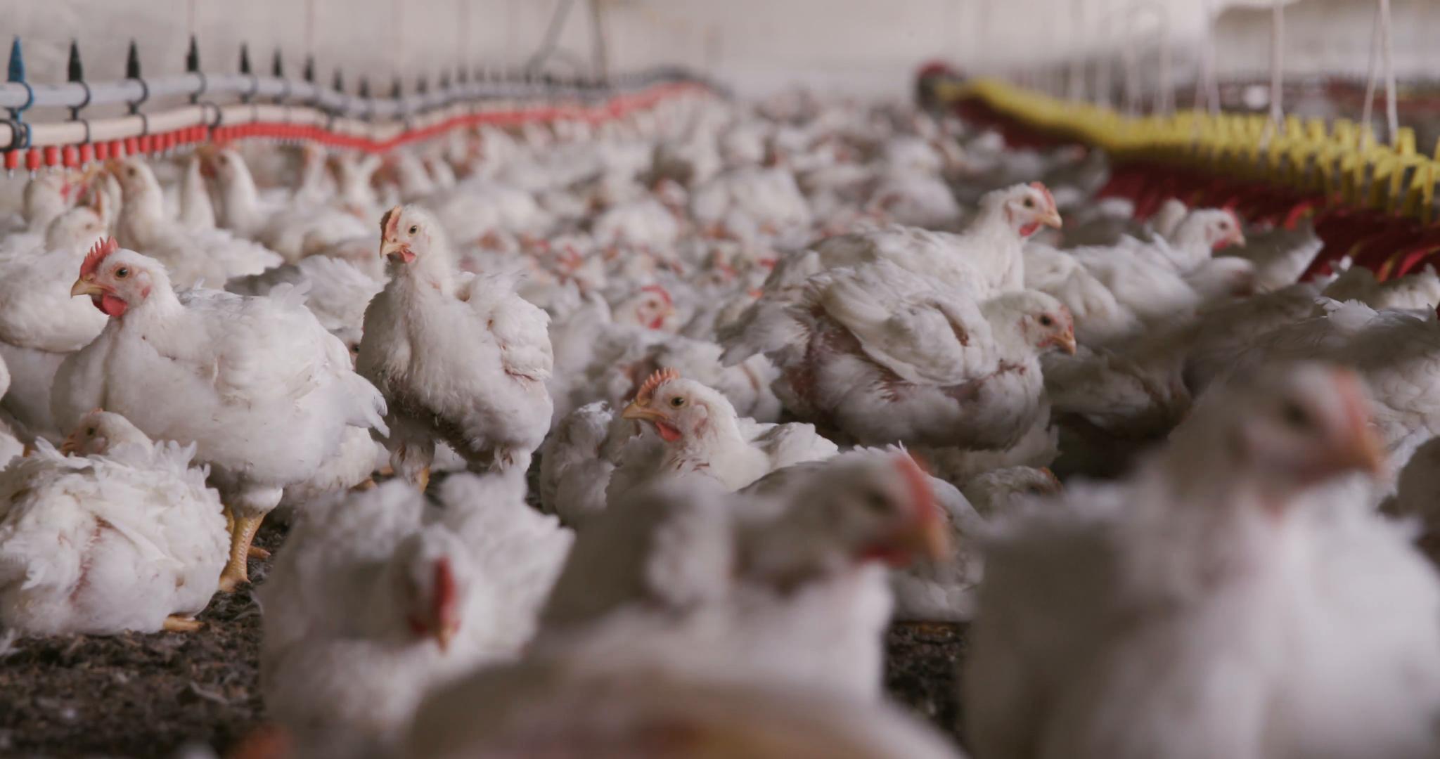 Cara Ternak Ayam Potong